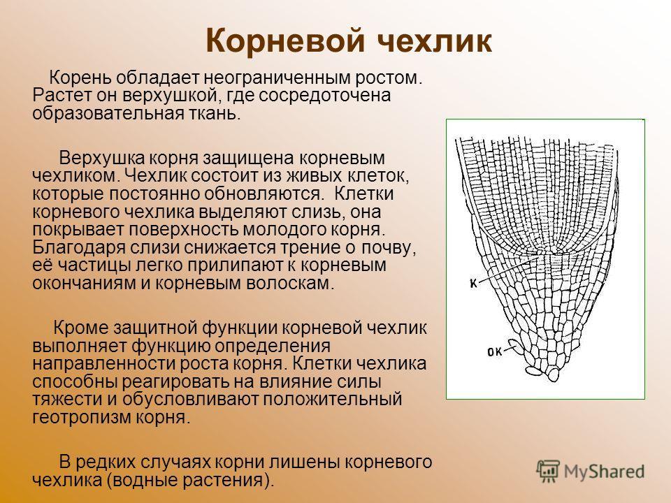Корень обладает неограниченным ростом. Растет он верхушкой, где сосредоточена образовательная ткань. Верхушка корня защищена корневым чехликом. Чехлик состоит из живых клеток, которые постоянно обновляются. Клетки корневого чехлика выделяют слизь, он