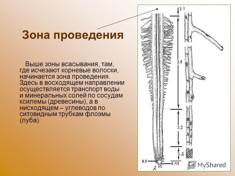Зона проведения Выше зоны всасывания, там, где исчезают корневые волоски, начинается зона проведения. Здесь в восходящем направлении осуществляется транспорт воды и минеральных солей по сосудам ксилемы (древесины), а в нисходящем – углеводов по ситов