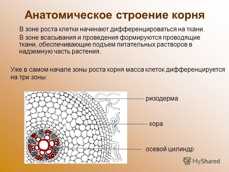Анатомическое строение корня В зоне роста клетки начинают дифференцироваться на ткани. В зоне всасывания и проведения формируются проводящие ткани, обеспечивающие подъем питательных растворов в надземную часть растения. Уже в самом начале зоны роста