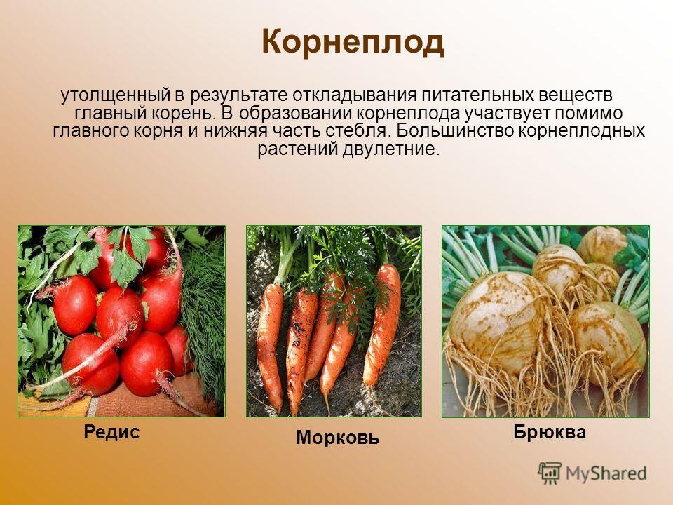 Корнеплод утолщенный в результате откладывания питательных веществ главный корень. В образовании корнеплода участвует помимо главного корня и нижняя часть стебля. Большинство корнеплодных растений двулетние. Брюква Морковь Редис