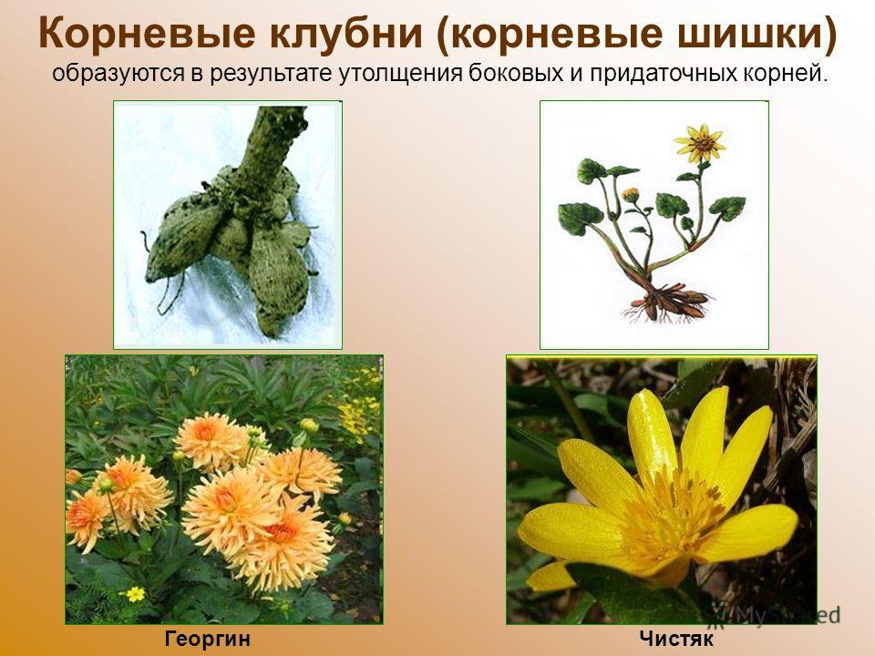 Корневые клубни (корневые шишки) образуются в результате утолщения боковых и придаточных корней. Чистяк Георгин