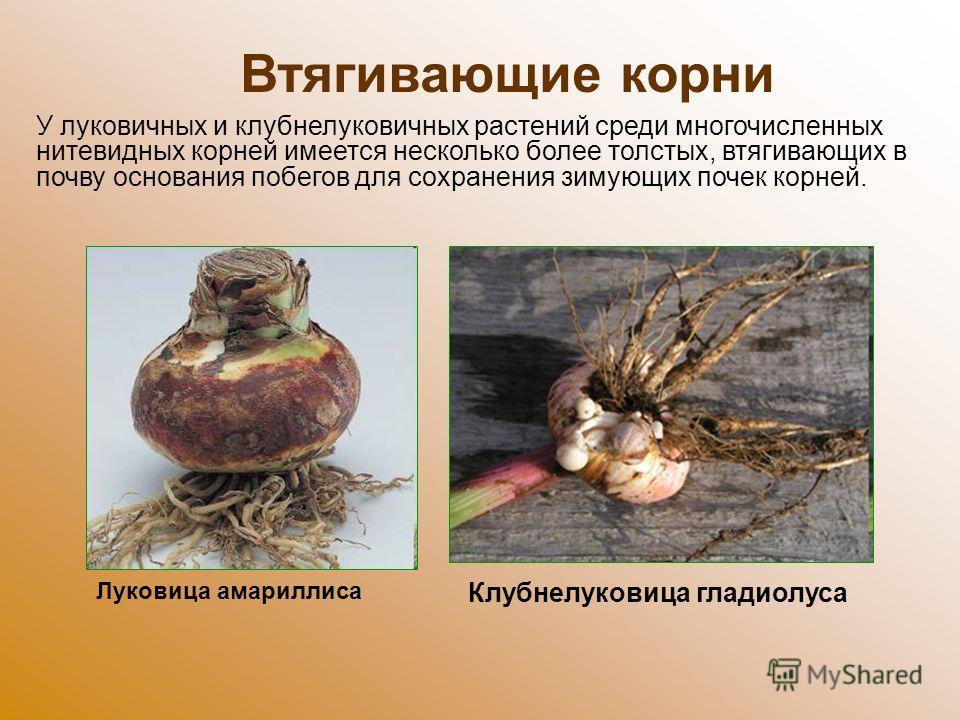 Втягивающие корни У луковичных и клубнелуковичных растений среди многочисленных нитевидных корней имеется несколько более толстых, втягивающих в почву основания побегов для сохранения зимующих почек корней. Клубнелуковица гладиолуса Луковица амарилли