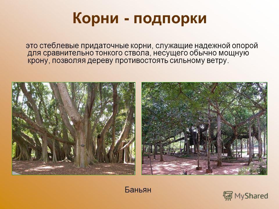 Корни - подпорки это стеблевые придаточные корни, служащие надежной опорой для сравнительно тонкого ствола, несущего обычно мощную крону, позволяя дереву противостоять сильному ветру. Баньян