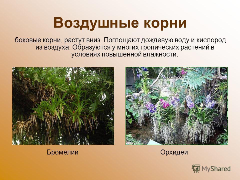 Воздушные корни боковые корни, растут вниз. Поглощают дождевую воду и кислород из воздуха. Образуются у многих тропических растений в условиях повышенной влажности. Бромелии Орхидеи
