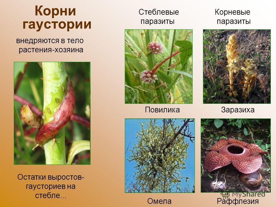 Корни гаустории внедряются в тело растения-хозяина Повилика Остатки выростов- гаусториев на стебле... Омела Заразиха Раффлезия Корневые паразиты Стеблевые паразиты