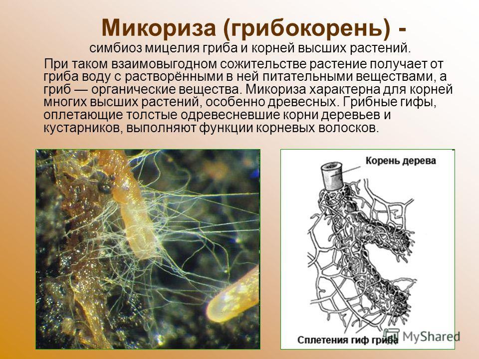 симбиоз мицелия гриба и корней высших растений. При таком взаимовыгодном сожительстве растение получает от гриба воду с растворёнными в ней питательными веществами, а гриб органические вещества. Микориза характерна для корней многих высших растений,
