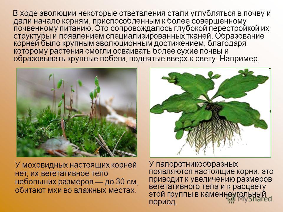 В ходе эволюции некоторые ответвления стали углубляться в почву и дали начало корням, приспособленным к более совершенному почвенному питанию. Это сопровождалось глубокой перестройкой их структуры и появлением специализированных тканей. Образование к