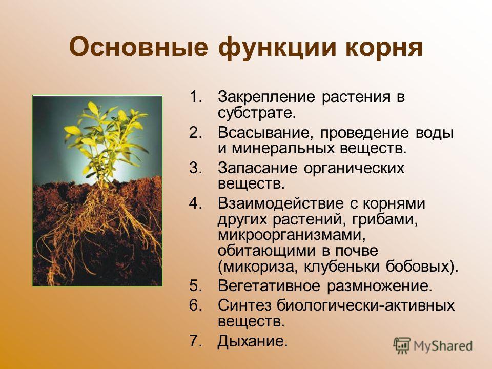 Основные функции корня 1. Закрепление растения в субстрате. 2.Всасывание, проведение воды и минеральных веществ. 3. Запасание органических веществ. 4. Взаимодействие с корнями других растений, грибами, микроорганизмами, обитающими в почве (микориза,