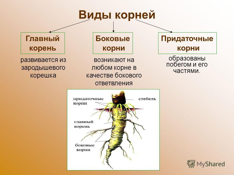 Виды корней развивается из зародышевого корешка возникают на любом корне в качестве бокового ответвления образованы побегом и его частями. Главный корень Боковые корни Придаточные корни