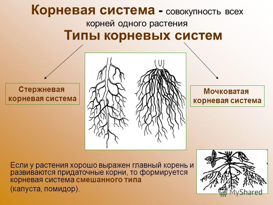 Корневая система - совокупность всех корней одного растения Типы корневых систем Стержневая корневая система Мочковатая корневая система Если у растения хорошо выражен главный корень и развиваются придаточные корни, то формируется корневая система см