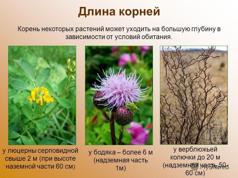 Длина корней у люцерны серповидной свыше 2 м (при высоте наземной части 60 см ) Корень некоторых растений может уходить на большую глубину в зависимости от условий обитания. у бодяка – более 6 м (надземная часть 1 м) у верблюжьей колючки до 20 м (над