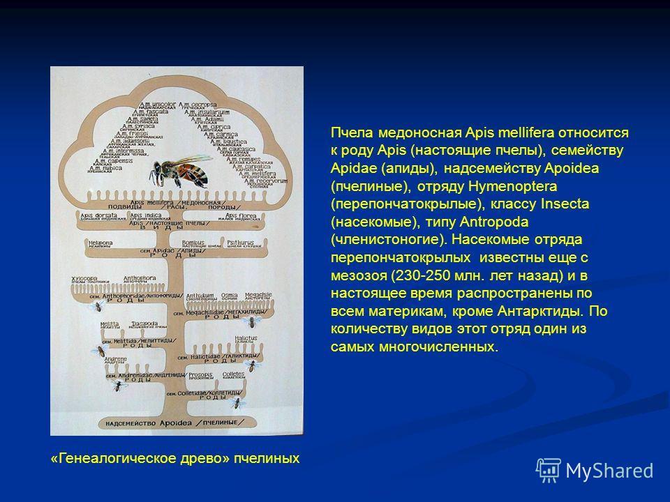 Пчела медоносная Apis mellifera относится к роду Apis (настоящие пчелы), семейству Apidae (ррапиды), надсемейству Apoidea (пчелиные), отряду Hymenoptera (перепончатокрылые), классу Insecta (насекомые), типу Antropoda (членистоногие). Насекомые отряда