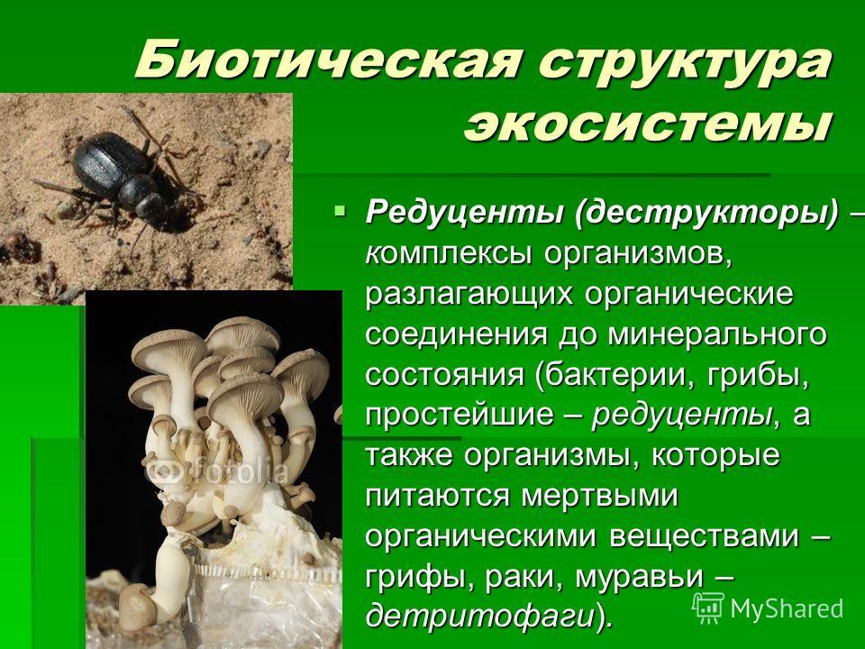 Биотическая структура экосистемы Редуценты (деструкторы) – комплексы организмов, разлагающих органические соединения до минерального состояния (бактерии, грибы, простейшие – редуценты, а также организмы, которые питаются мертвыми органическими вещест