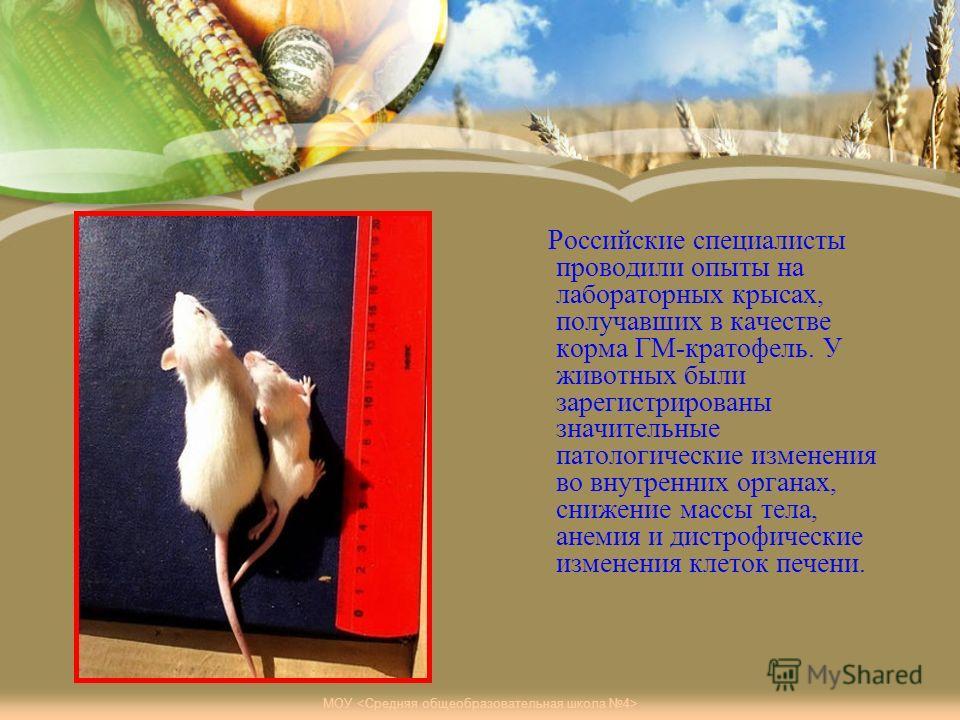 Российские специалисты проводили опыты на лабораторных крысах, получавших в качестве корма ГМ-картофель. У животных были зарегистрированы значительные патологические изменения во внутренних органах, снижение массы тела, анемия и дистрофические измене