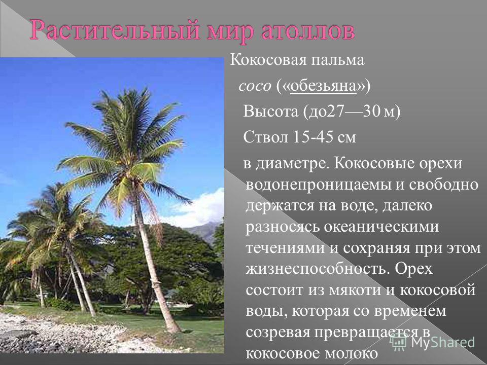 Кокосовая пальма coco («обезьяна») Высота (до 2730 м) Ствол 15-45 см в диаметре. Кокосовые орехи водонепроницаемы и свободно держатся на воде, далеко разносясь океаническими течениями и сохраняя при этом жизнеспособность. Орех состоит из мякоти и кок