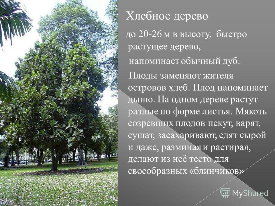 Хлебное дерево до 20-26 м в высоту, быстро растущее дерево, напоминает обычный дуб. Плоды заменяют жителя островов хлеб. Плод напоминает дыню. На одном дереве растут разные по форме листья. Мякоть созревших плодов пекут, варят, сушат, засахаривают, е