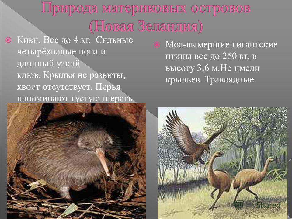 Moa-вымершие гигантские птицы вес до 250 кг, в высоту 3,6 м.Не имели крыльев. Травоядные Киви. Вес до 4 кг. Сильные четырёхпалые ноги и длинный узкий клюв. Крылья не развиты, хвост отсутствует. Перья напоминают густую шерсть