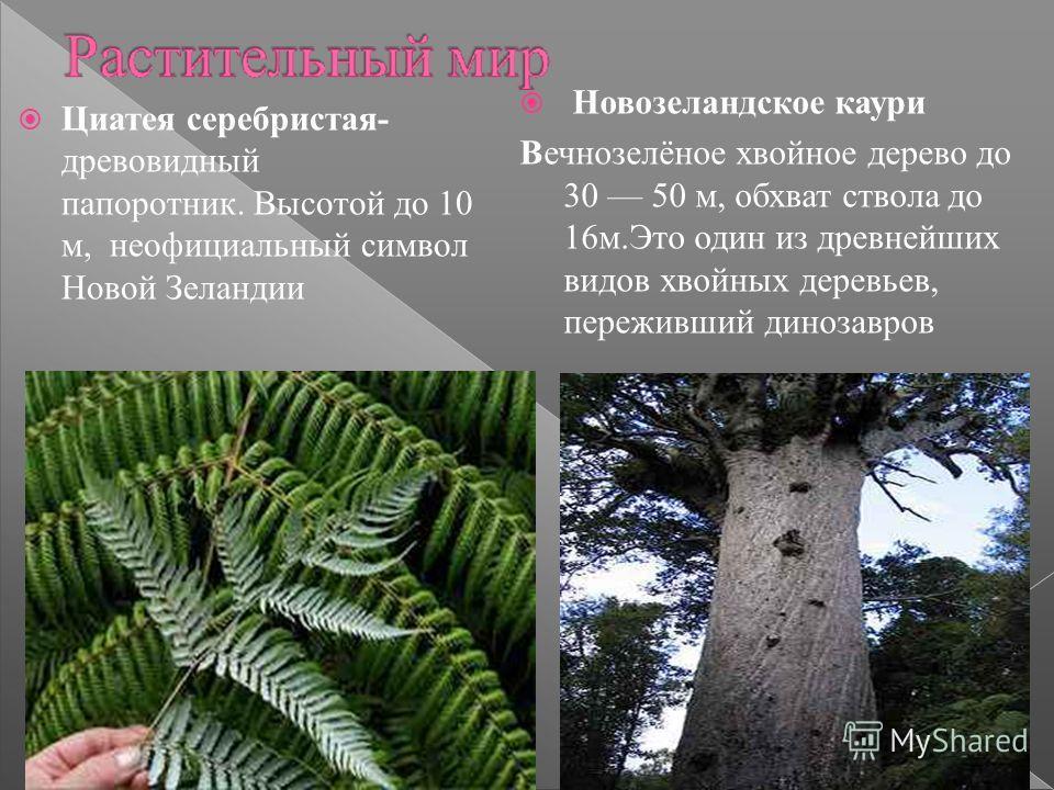 Циатея серебристая- древовидный папоротник. Высотой до 10 м, неофициальный символ Новой Зеландии Новозеландское каури Вечнозелёное хвойное дерево до 30 50 м, обхват ствола до 16 м.Это один из древнейших видов хвойных деревьев, переживший динозавров