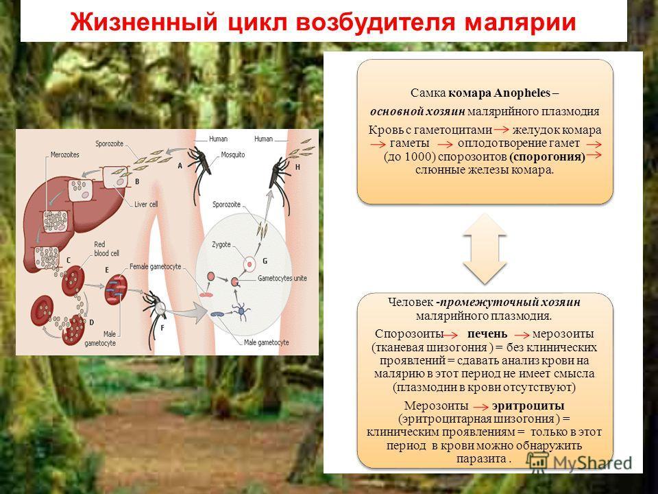 Жизненный цикл возбудителя малярии Самка комара Anopheles – основной хозяин малярийного плазмодия Кровь с гаметоцитами желудок комара гаметы оплодотворение гамет (до 1000) спорозоитов (спорогония) слюнные железы комара. Человек -промежуточный хозяин