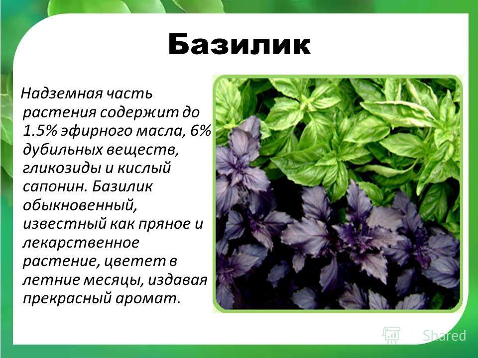 Базилик Надземная часть растения содержит до 1.5% эфирного масла, 6% дубильных веществ, гликозиды и кислый сапонин. Базилик обыкновенный, известный как пряное и лекарственное растение, цветет в летние месяцы, издавая прекрасный аромат.
