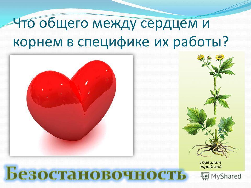 Что общего между сердцем и корнем в специфике их работы?