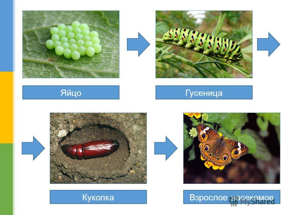 Яйцо Гусеница Куколка Взрослое насекомое