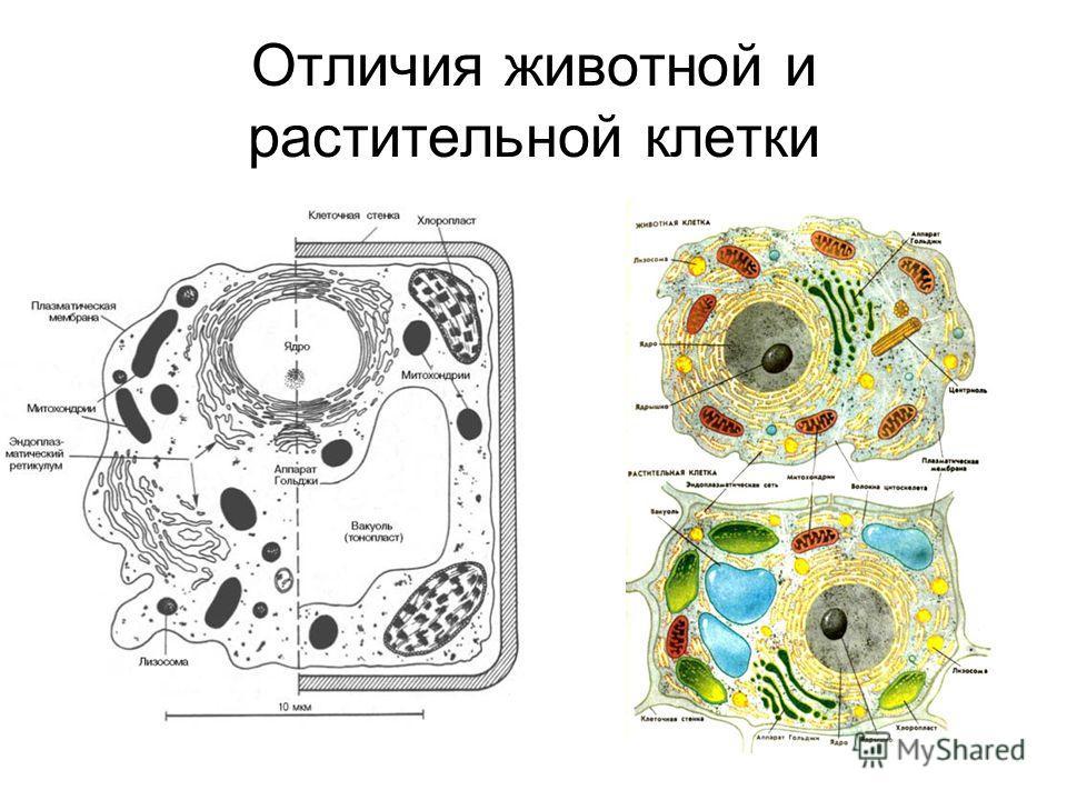 Отличия животной и растительной клетки