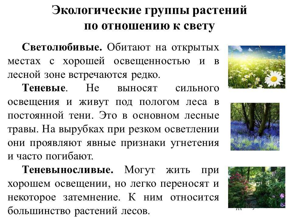Экологические группы растений по отношению к свету Светолюбивые. Обитают на открытых местах с хорошей освещенностью и в лесной зоне встречаются редко. Теневые. Не выносят сильного освещения и живут под пологом леса в постоянной тени. Это в основном л