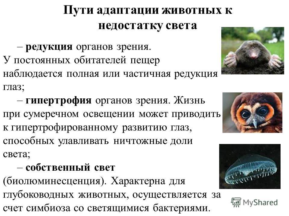 Пути адаптации животных к недостатку света – редукция органов зрения. У постоянных обитателей пещер наблюдается полная или частичная редукция глаз; – гипертрофия органов зрения. Жизнь при сумеречном освещении может приводить к гипертрофированному раз