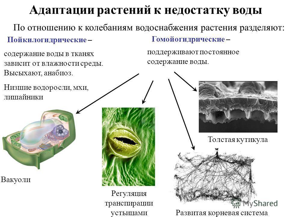 Адаптации растений к недостатку воды Пойкилогидрические – Гомойогидрические – содержание воды в тканях зависит от влажности среды. Высыхают, анабиоз. Низшие водоросли, мхи, лишайники поддерживают постоянное содержание воды. Вакуоли Регуляция транспир