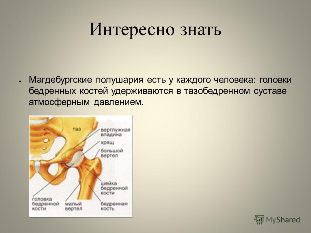 Интересно знать Магдебургские полушария есть у каждого человека: головки бедренных костей удерживаются в тазобедренном суставе атмосферным давлением.