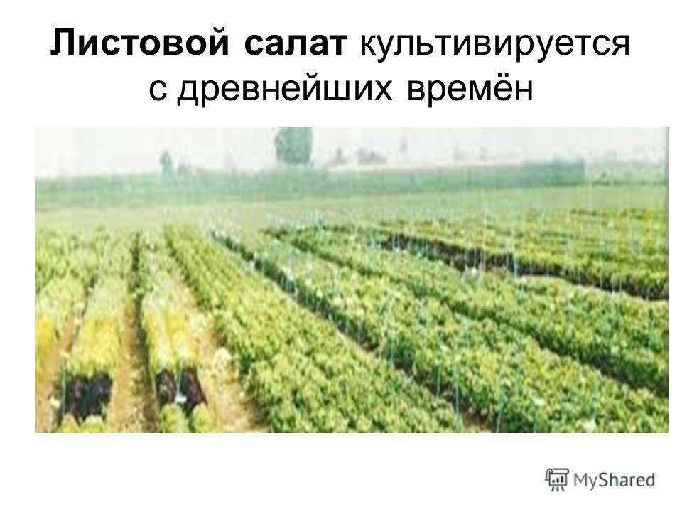Листовой салат культивируется с древнейших времён