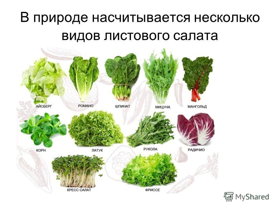 В природе насчитывается несколько видов листового салата