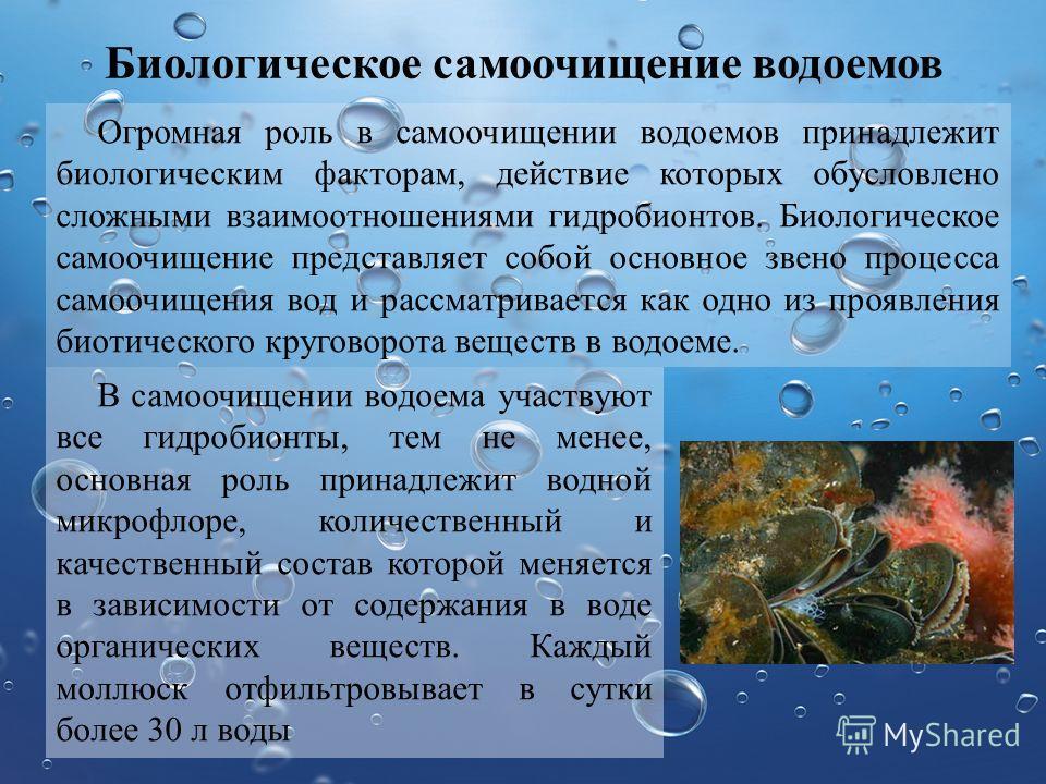 Биологическое самоочищение водоемов Огромная роль в самоочищении водоемов принадлежит биологическим факторам, действие которых обусловлено сложными взаимоотношениями гидробионтов. Биологическое самоочищение представляет собой основное звено процесса