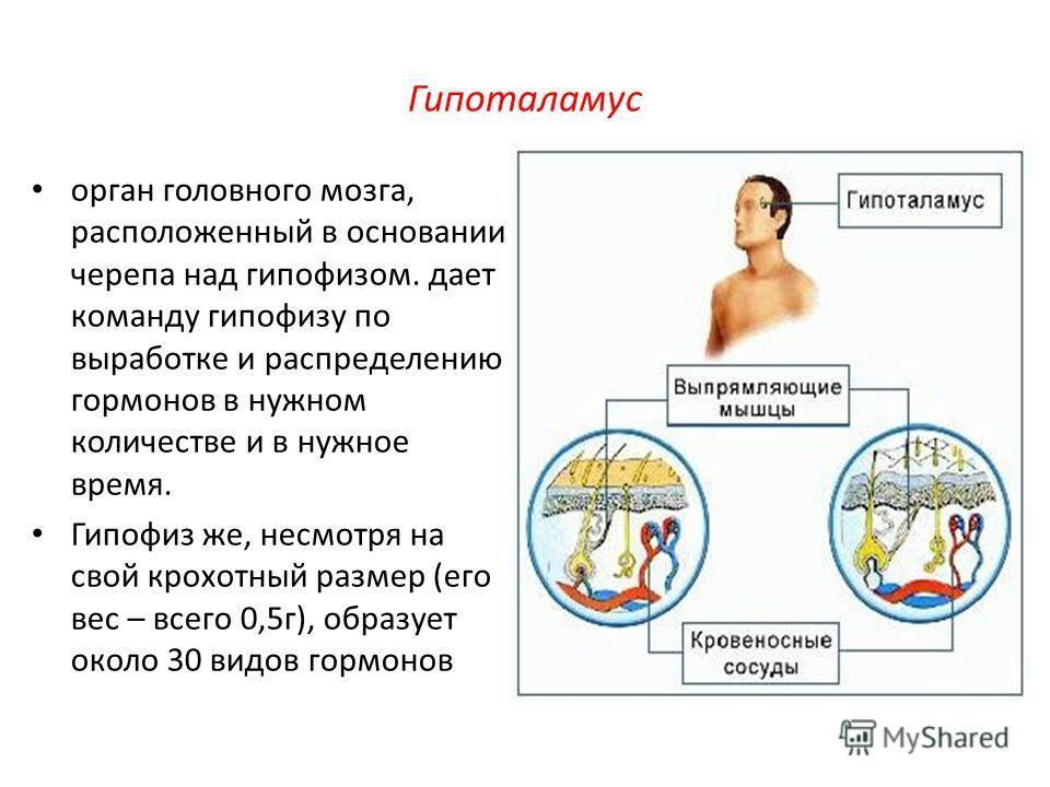 Гипоталамус орган головного мозга, расположенный в основании черепа над гипофизом. дает команду гипофизу по выработке и распределению гормонов в нужном количестве и в нужное время. Гипофиз же, несмотря на свой крохотный размер (его вес – всего 0,5 г)