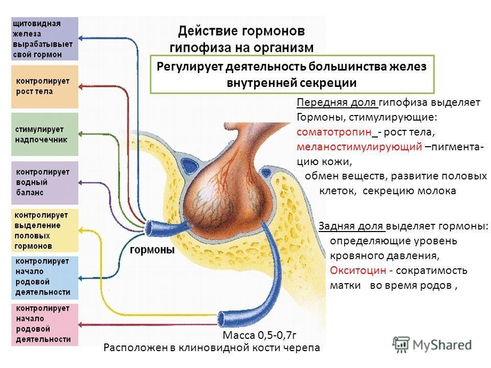 Передняя доля гипофиза выделяет Гормоны, стимулирующие: соматотропин_- рост тела, меланостимулирующий –пигментацию кожи, обмен веществ, развитие половых клеток, секрецию молока Регулирует деятельность большинства желез внутренней секреции Расположен