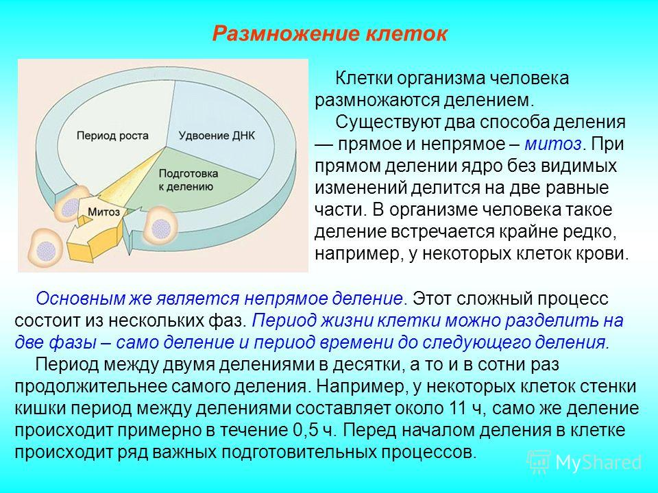 Размножение клеток Основным же является непрямое деление. Этот сложный процесс состоит из нескольких фаз. Период жизни клетки можно разделить на две фазы – само деление и период времени до следующего деления. Период между двумя делениями в десятки, а