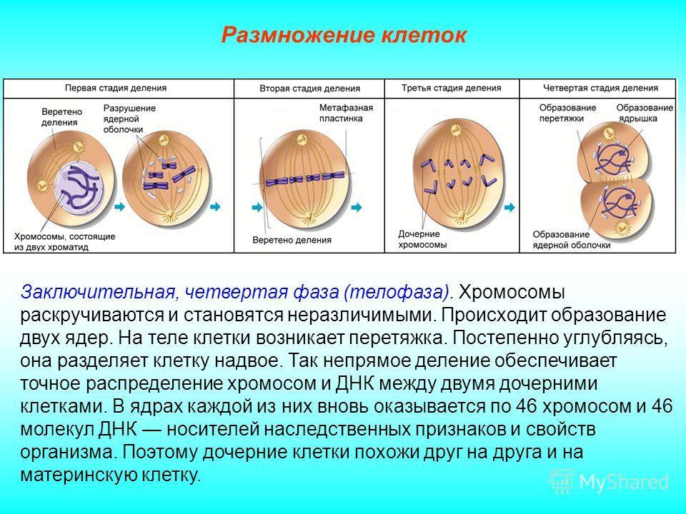 Размножение клеток Заключительная, четвертая фаза (телофаза). Хромосомы раскручиваются и становятся неразличимыми. Происходит образование двух ядер. На теле клетки возникает перетяжка. Постепенно углубляясь, она разделяет клетку надвое. Так непрямое