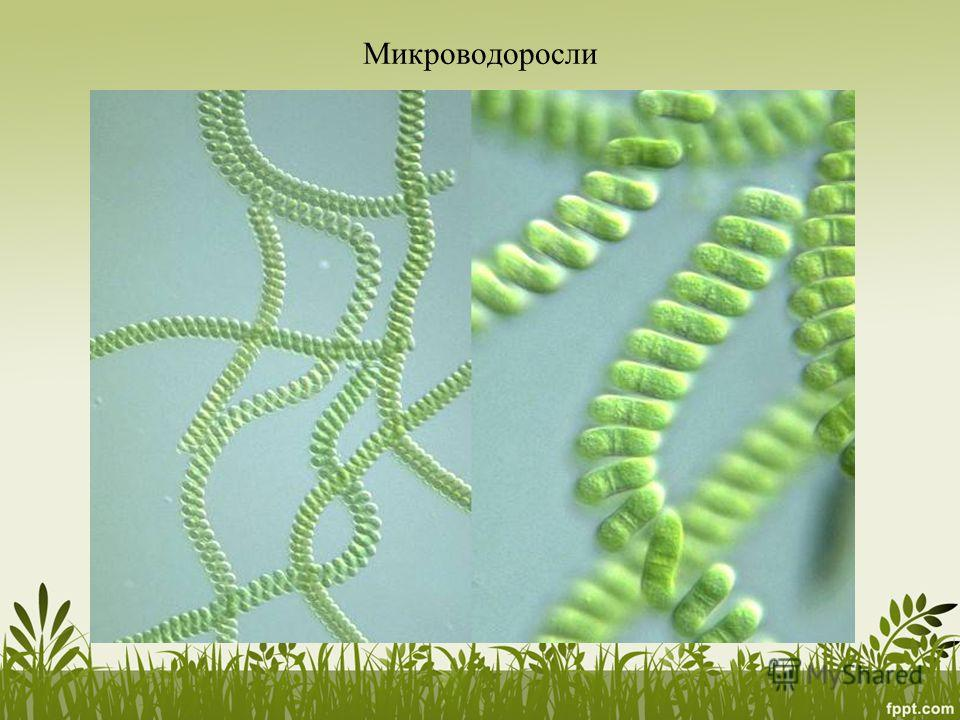 Микроводоросли