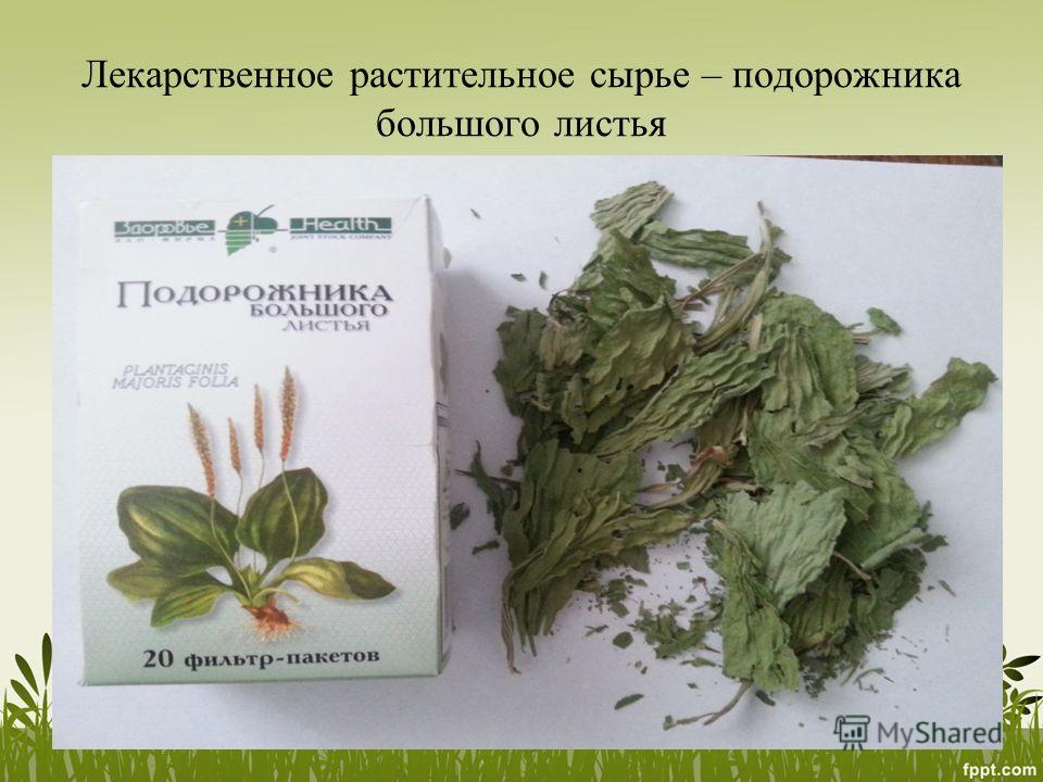Лекарственное растительное сырье – подорожника большого листья
