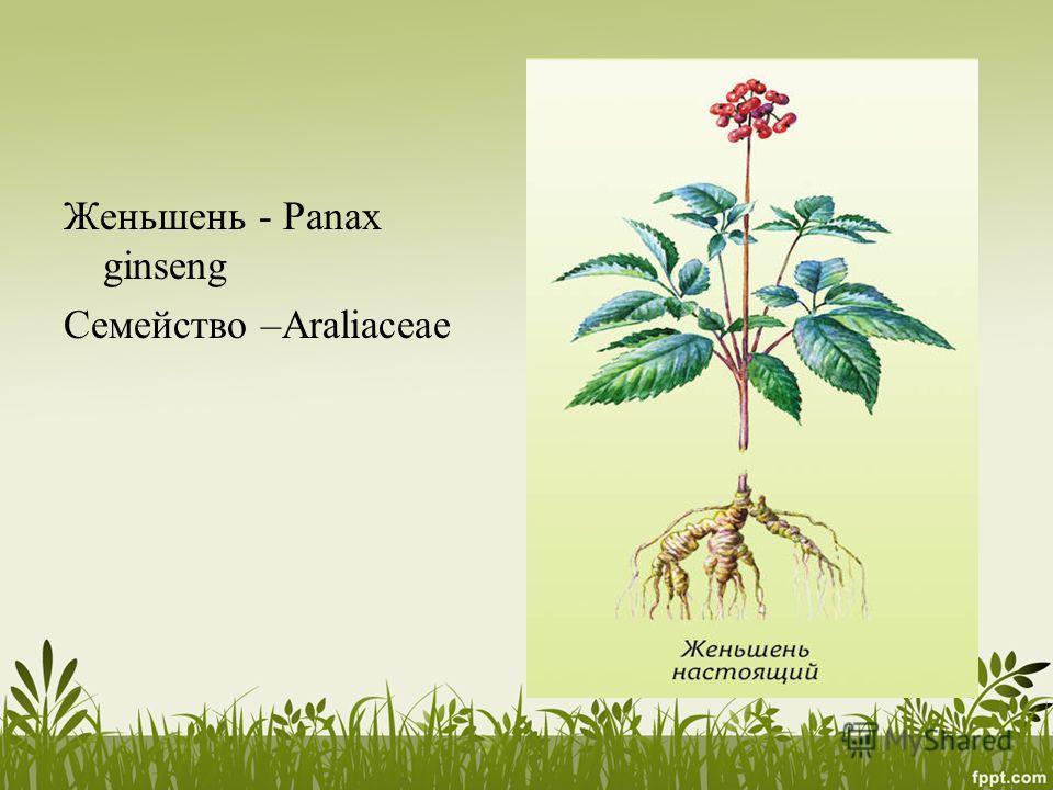 Женьшень - Panax ginseng Семейство –Araliaceae