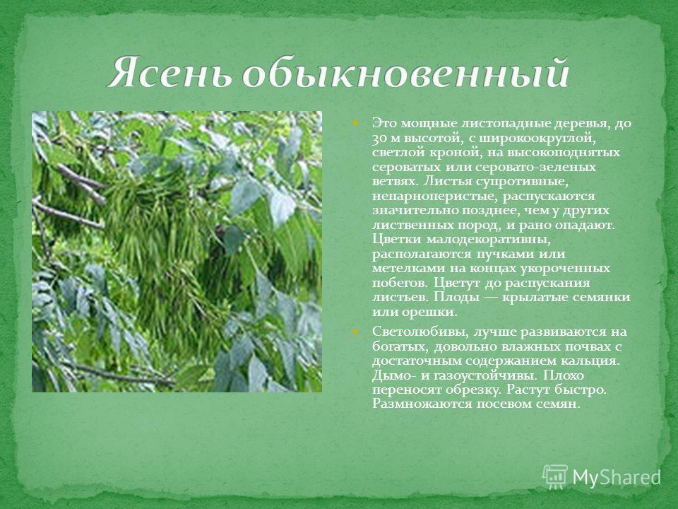 Это мощные листопадные деревья, до 30 м высотой, с широко округлой, светлой кроной, на высокоподнятых сероватых или серовато-зеленых ветвях. Листья супротивные, непарноперистые, распускаются значительно позднее, чем у других лиственных пород, и рано