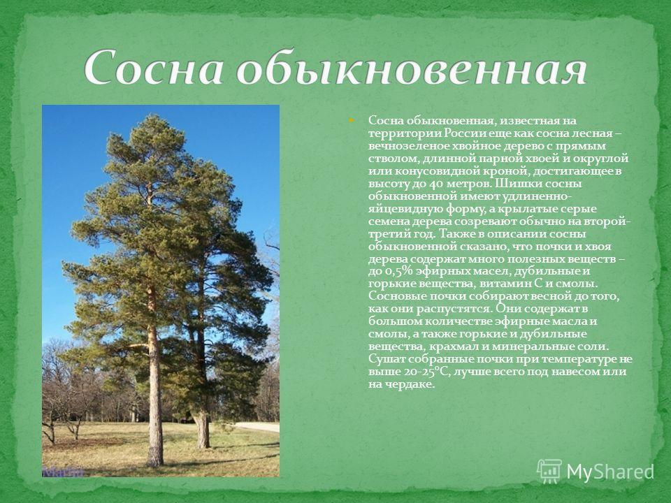 Сосна обыкновенная, известная на территории России еще как сосна лесная – вечнозеленое хвойное дерево с прямым стволом, длинной парной хвоей и округлой или конусовидной кроной, достигающее в высоту до 40 метров. Шишки сосны обыкновенной имеют удлинен