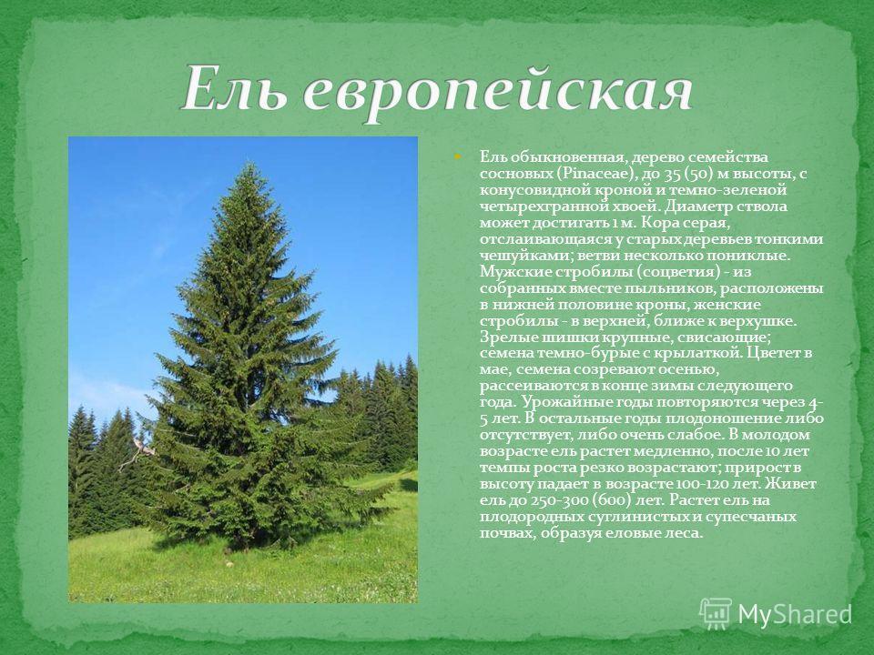 Ель обыкновенная, дерево семейства сосновых (Pinaceae), до 35 (50) м высоты, с конусовидной кроной и темно-зеленой четырехгранной хвоей. Диаметр ствола может достигать 1 м. Кора серая, отслаивающаяся у старых деревьев тонкими чешуйками; ветви несколь