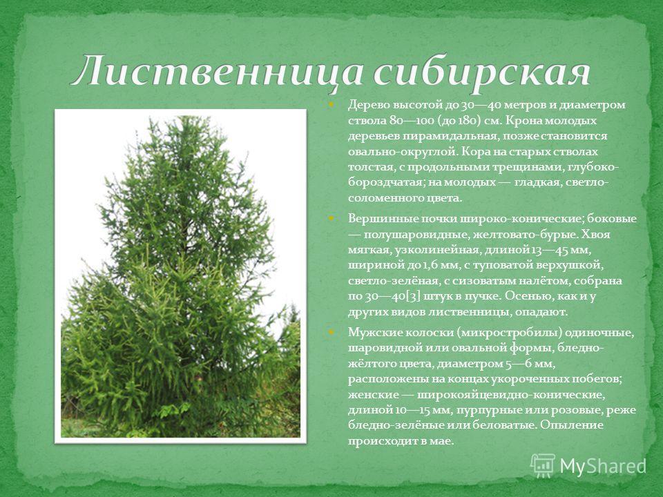 Дерево высотой до 3040 метров и диаметром ствола 80100 (до 180) см. Крона молодых деревьев пирамидальная, позже становится овально-округлой. Кора на старых стволах толстая, с продольными трещинами, глубоко- бороздчатая; на молодых гладкая, светло- со