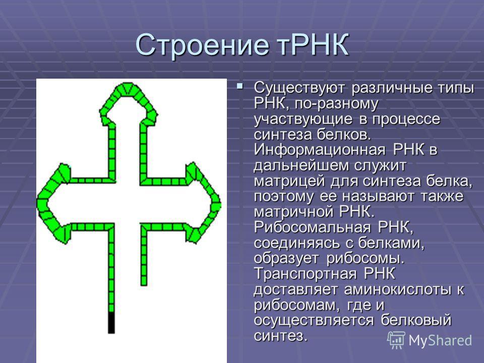 Строение тРНК Существуют различные типы РНК, по-разному участвующие в процессе синтеза белков. Информационная РНК в дальнейшем служит матрицей для синтеза белка, поэтому ее называют также матричной РНК. Рибосомальная РНК, соединяясь с белками, образу
