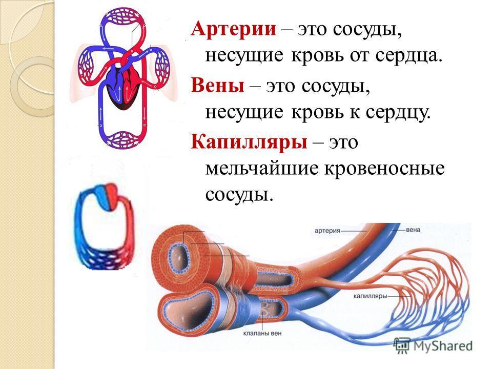 Артерии – это сосуды, несущие кровь от сердца. Вены – это сосуды, несущие кровь к сердцу. Капилляры – это мельчайшие кровеносные сосуды.