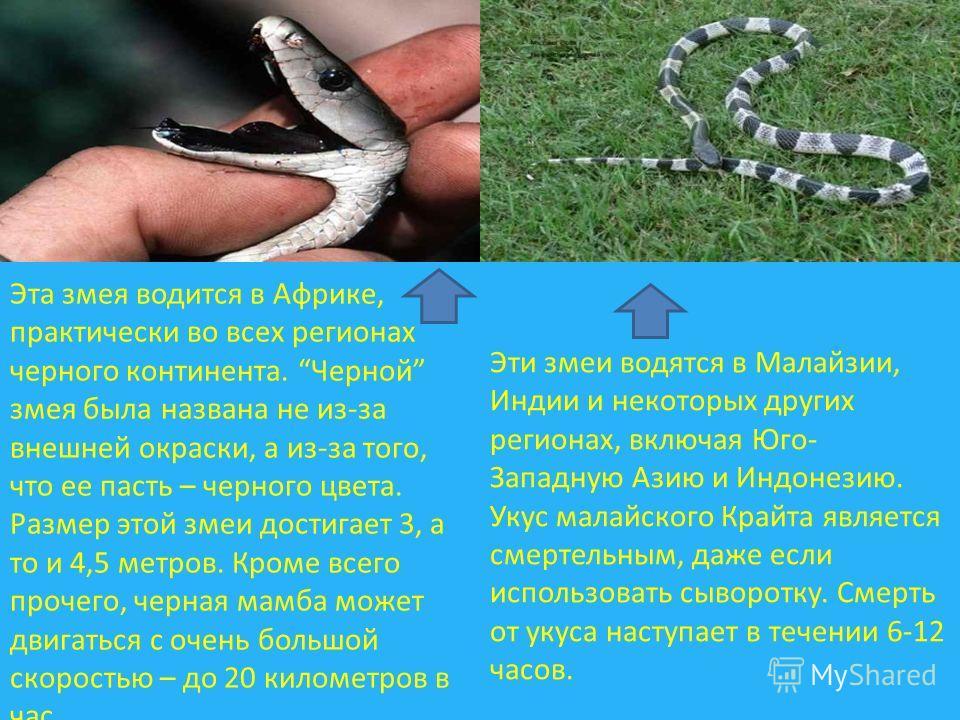 Эта змея водится в Африке, практически во всех регионах черного континента. Черной змея была названа не из-за внешней окраски, а из-за того, что ее пасть – черного цвета. Размер этой змеи достигает 3, а то и 4,5 метров. Кроме всего прочего, черная ма