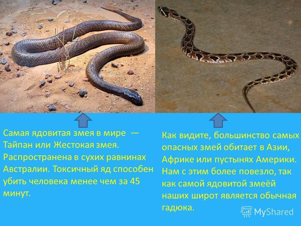 Самая ядовитая змея в мире Тайпан или Жестокая змея. Распространена в сухих равнинах Австралии. Токсичный яд способен убить человека менее чем за 45 минут. Как видите, большинство самых опасных змей обитает в Азии, Африке или пустынях Америки. Нам с