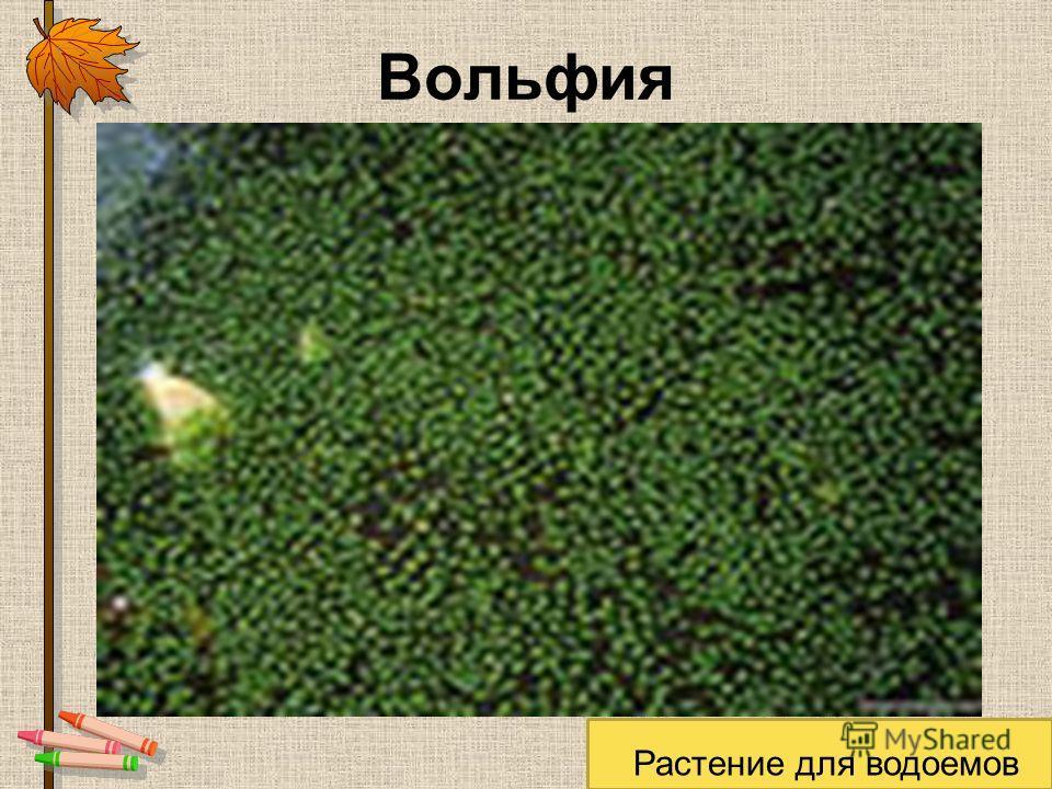 Вольфия Растение для водоемов